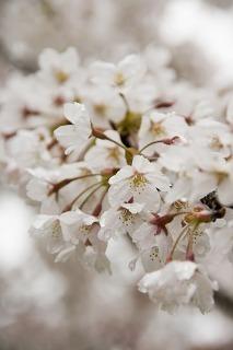 桜のイメージ.jpg